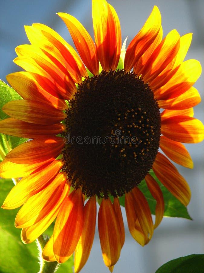 Sonnenblume sonnenbeschien lizenzfreies stockbild