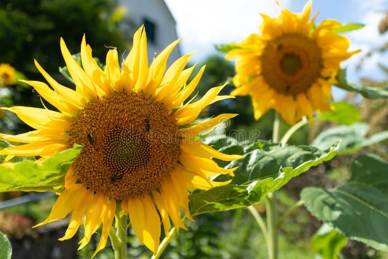Sonnenblume und Bienen lizenzfreie stockfotos