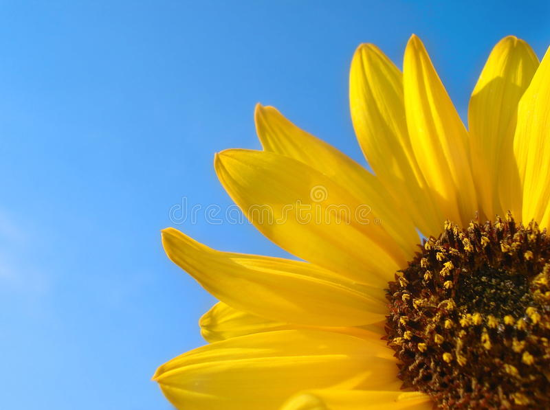 Sonnenblume-und blauer Himmel-Hintergrund lizenzfreie stockfotografie