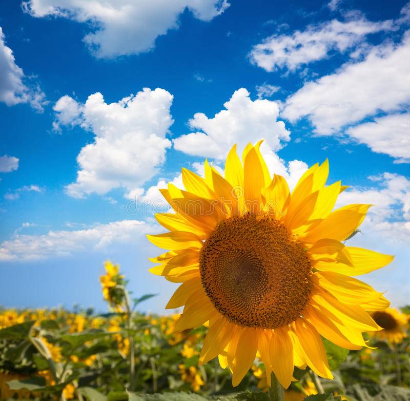 Sonnenblume und Feld gegen beautifu blauen Himmel/Sommer lizenzfreie stockfotos