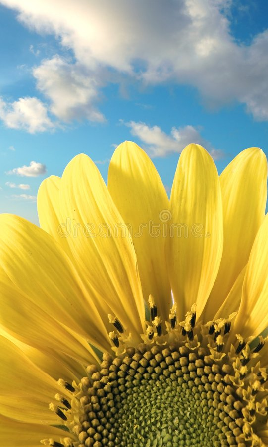 Sonnenblume und Himmel lizenzfreie stockfotos