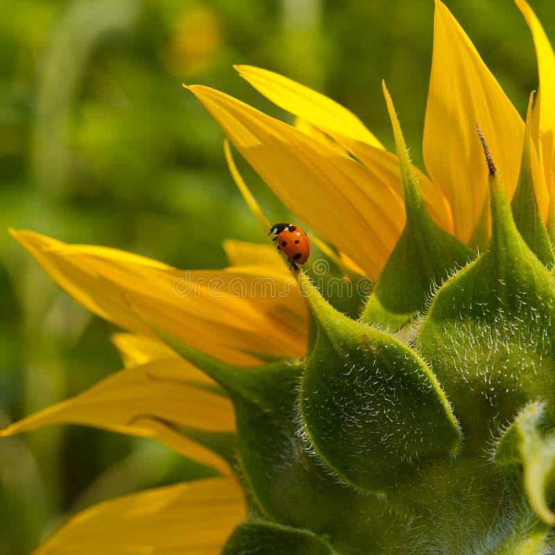 Sonnenblume und Marienkäfer stockfoto