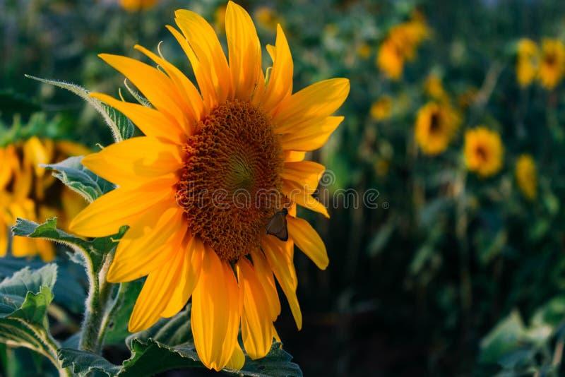 Sonnenblume und Motte stockfoto