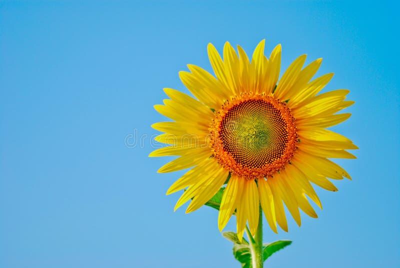 Sonnenblume und Samen lokalisiert auf Hintergrund des blauen Himmels lizenzfreie stockfotos