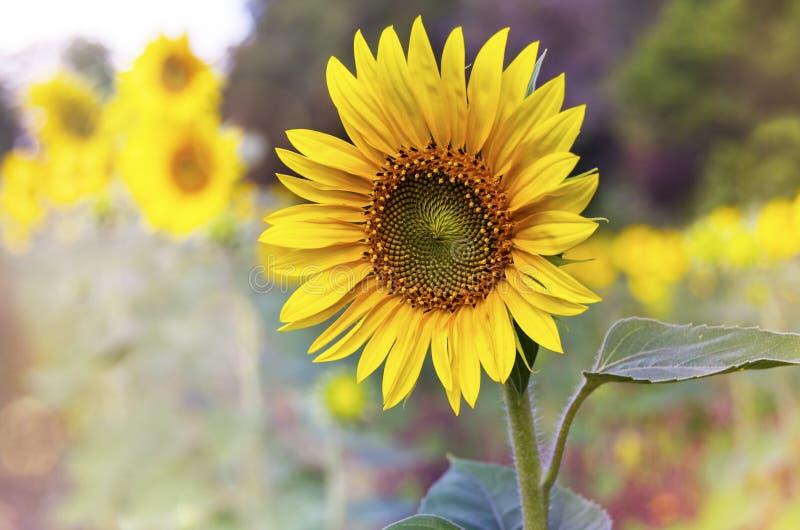 Sonnenblume und Sonnenblumenfeld Junge Erwachsene lizenzfreie stockfotos