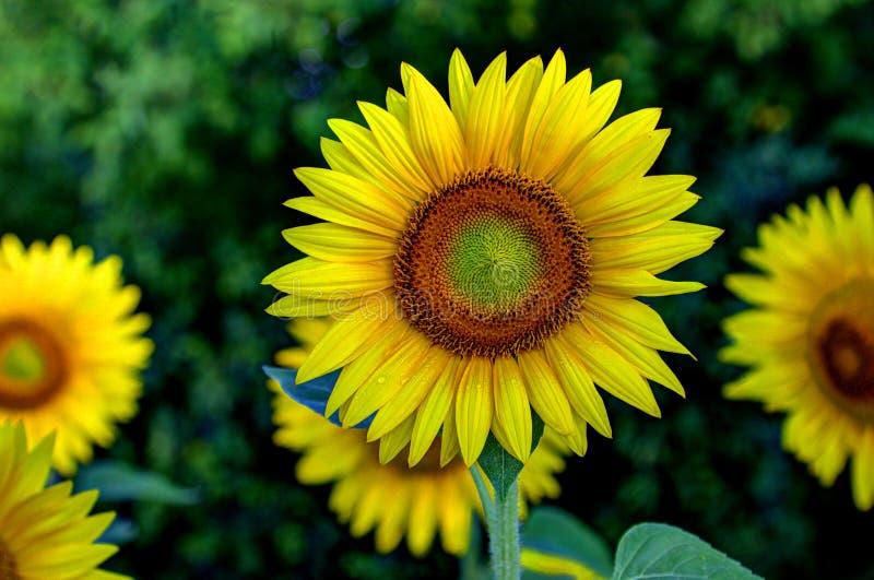Sonnenblume und Tau lizenzfreie stockbilder