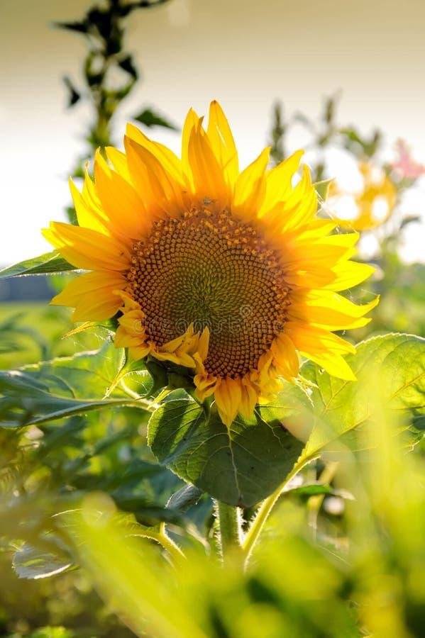 Sonnenblume unter anderen Frühlingssommerblumen stockfotografie