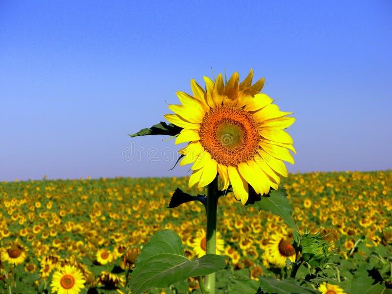 Sonnenblume VI lizenzfreies stockbild