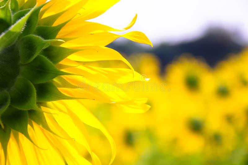 Sonnenblume von hinten stockfotos