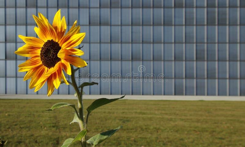 Sonnenblume vor modernem Gebäude lizenzfreie stockfotos