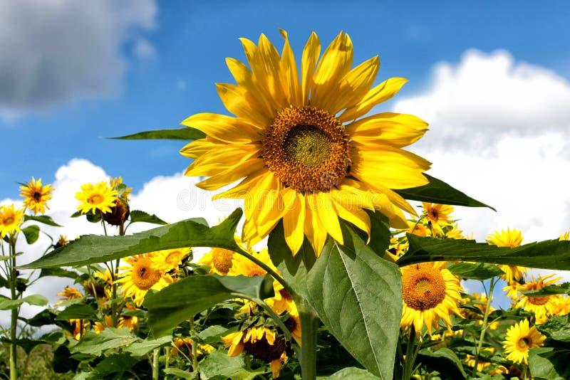 Sonnenblume wächst vor dem hintergrund anderer Sonnenblumen und blauer Himmel und Wolken stockbilder