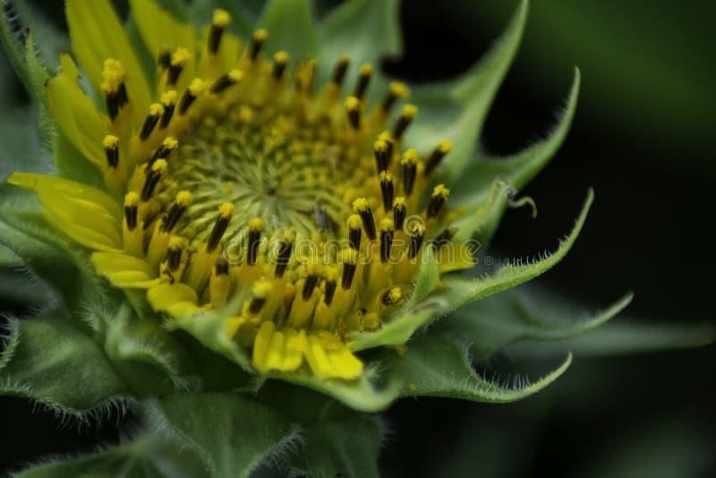Sonnenblume wird w?hrend des Sommers genommen stockbilder