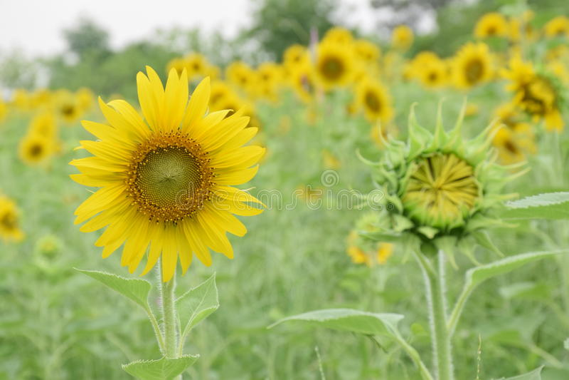 Sonnenblume zu blühen lizenzfreies stockbild