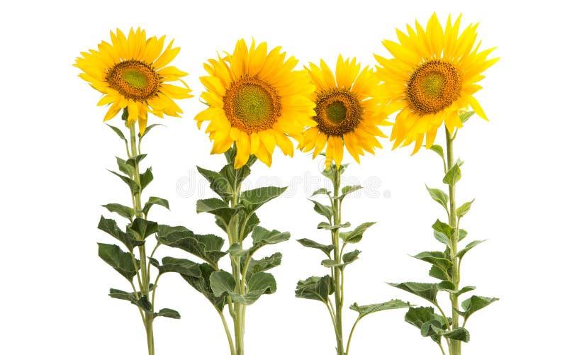 Sonnenblumeblumen getrennt lizenzfreies stockbild