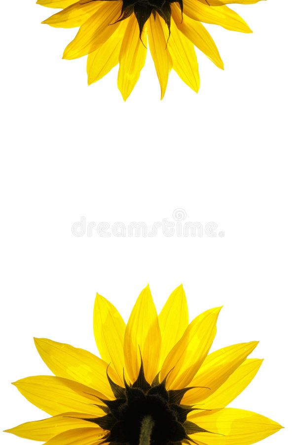 Sonnenblumedetails stockfotografie