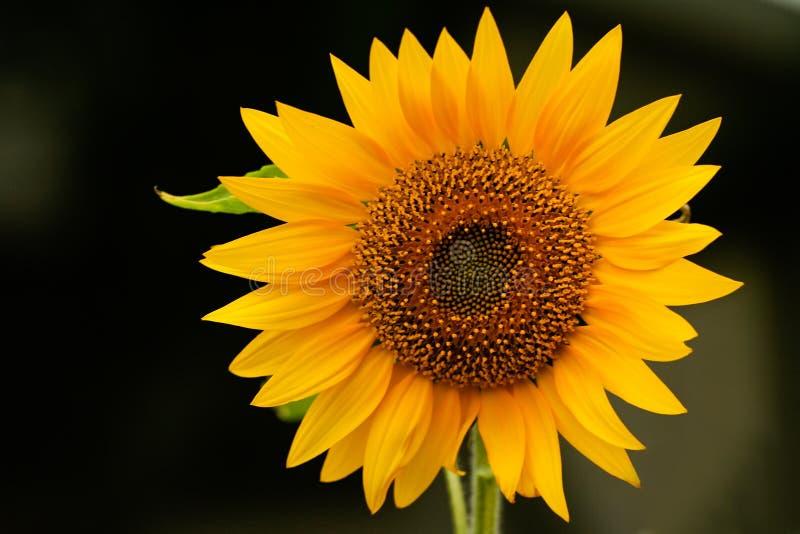Sonnenblumedisambigusierungklasse Helianthus lizenzfreies stockbild