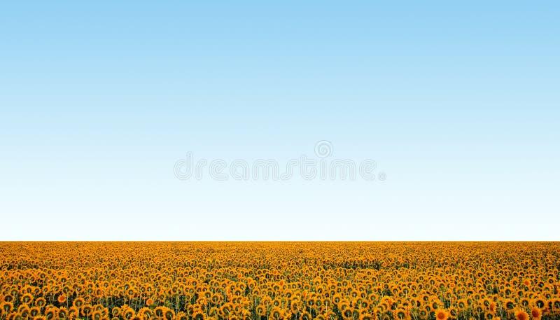 Sonnenblumefeld über blauem freiem Himmel stockfoto