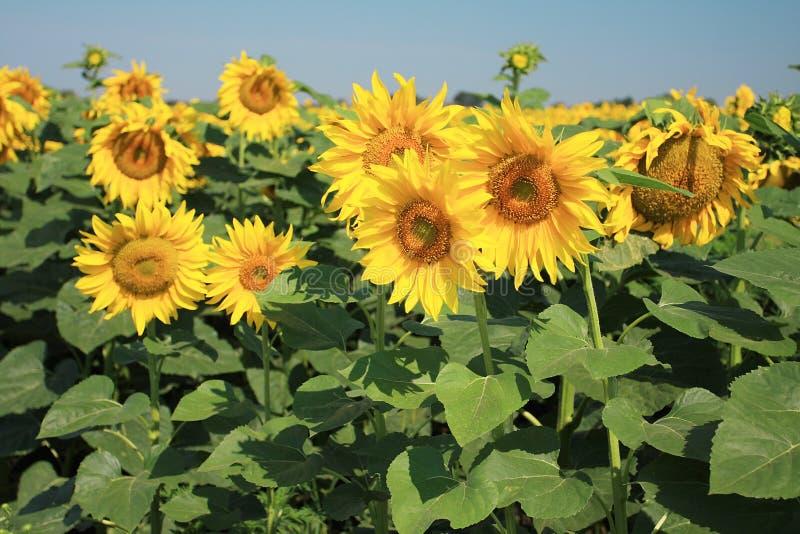 Sonnenblumefeld lizenzfreies stockfoto