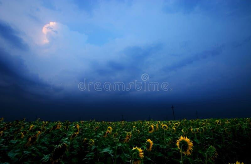 Sonnenblumefeld stockfotos
