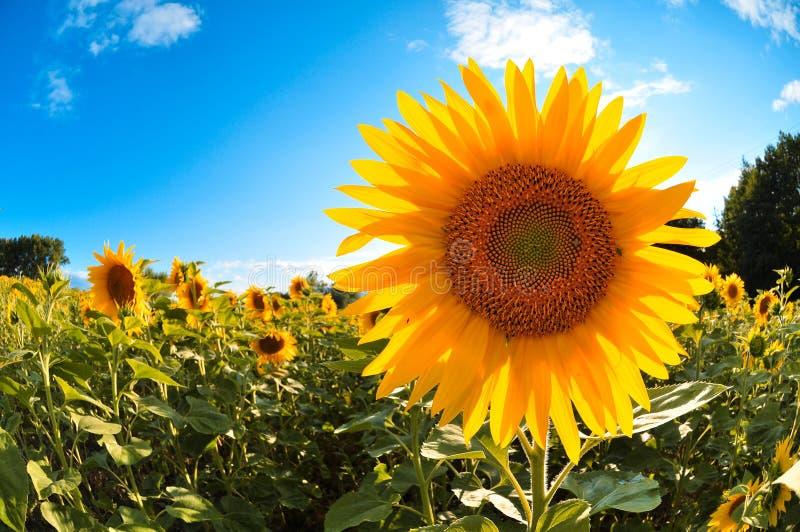 Sonnenblumefeld stockfoto