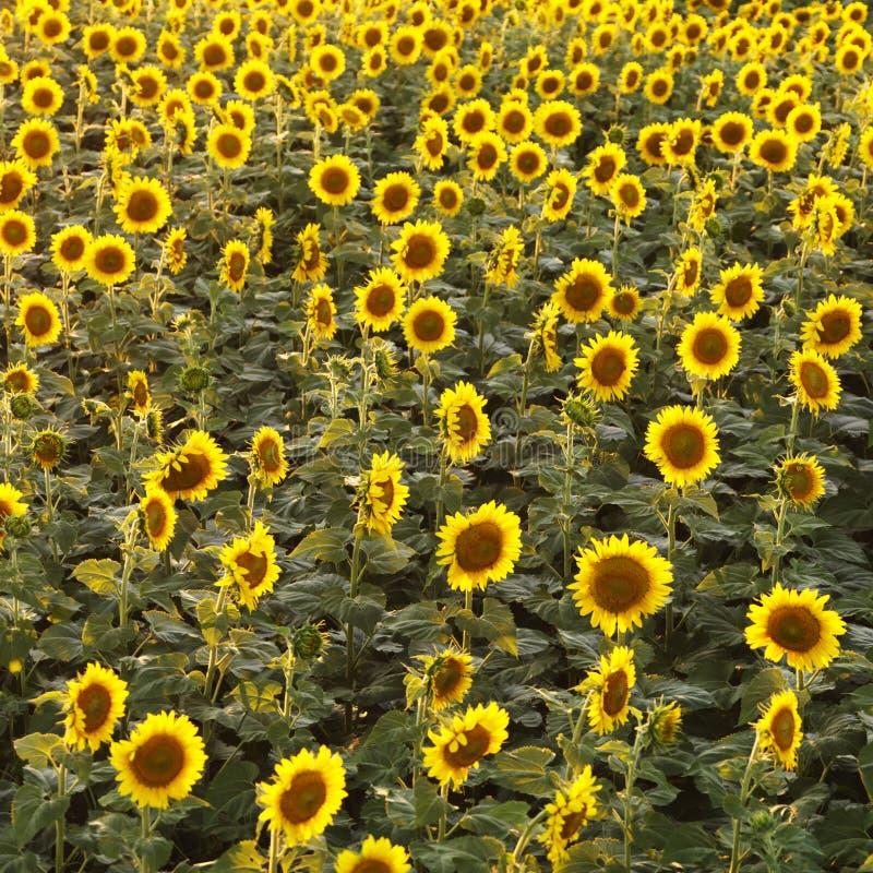 Sonnenblumefeld. lizenzfreie stockbilder