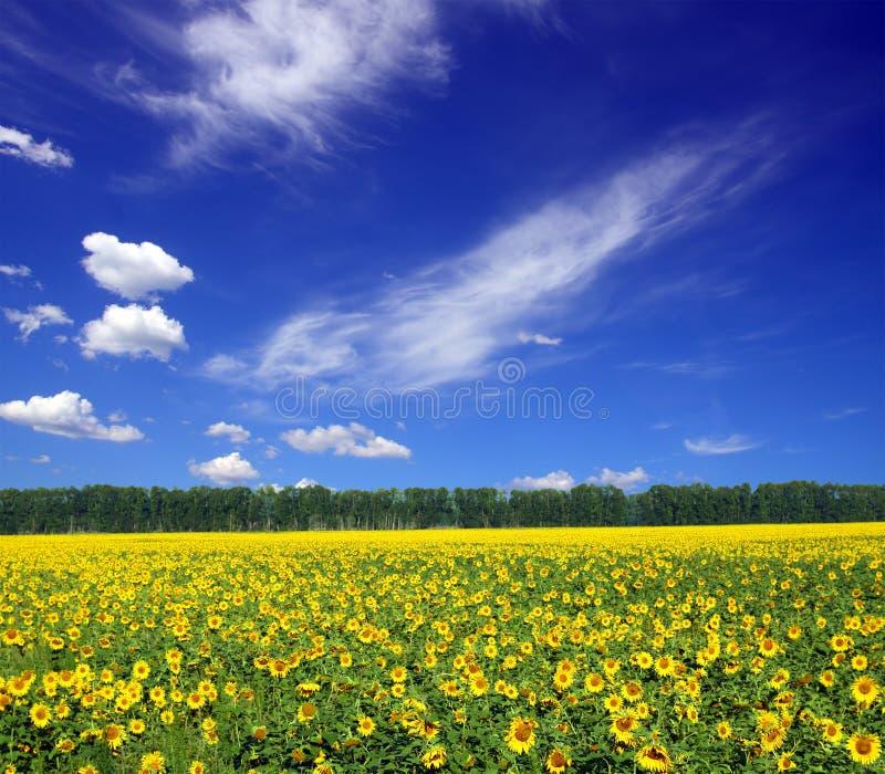 Sonnenblumefeld unter Himmel lizenzfreies stockbild