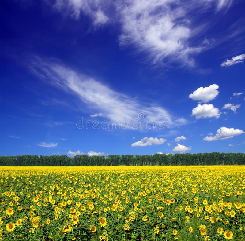 Sonnenblumefeld unter Himmel stockfotos