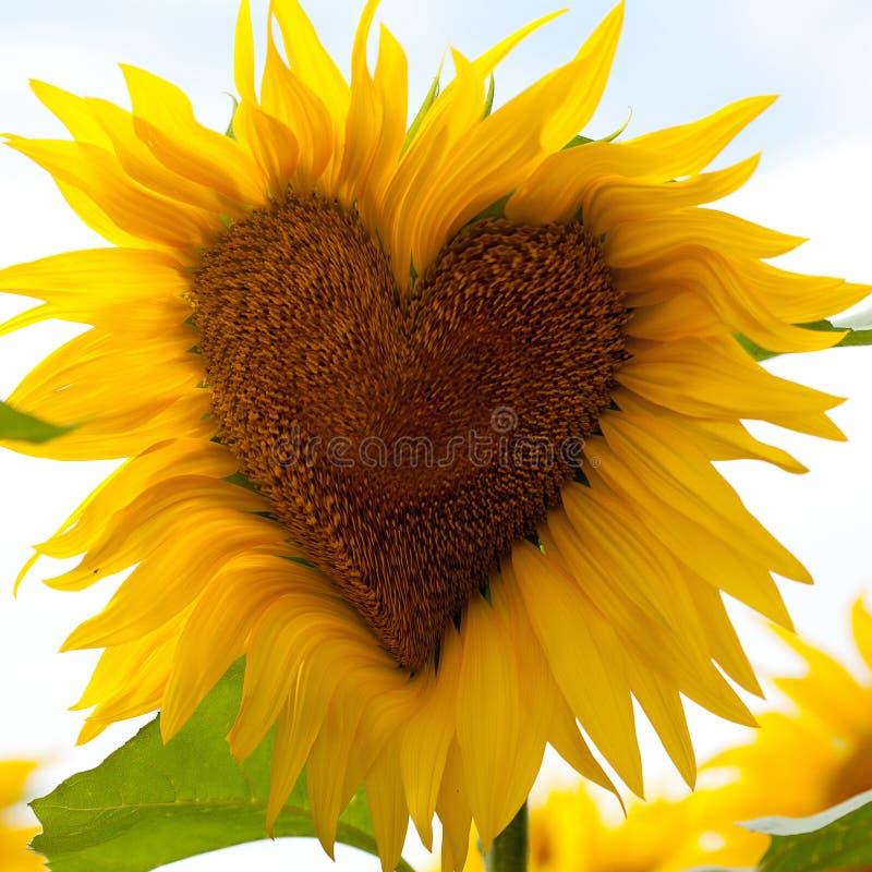 Sonnenblumeherz lizenzfreie stockbilder