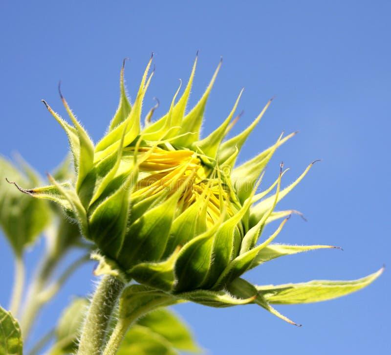 Sonnenblumeknospe lizenzfreie stockfotografie