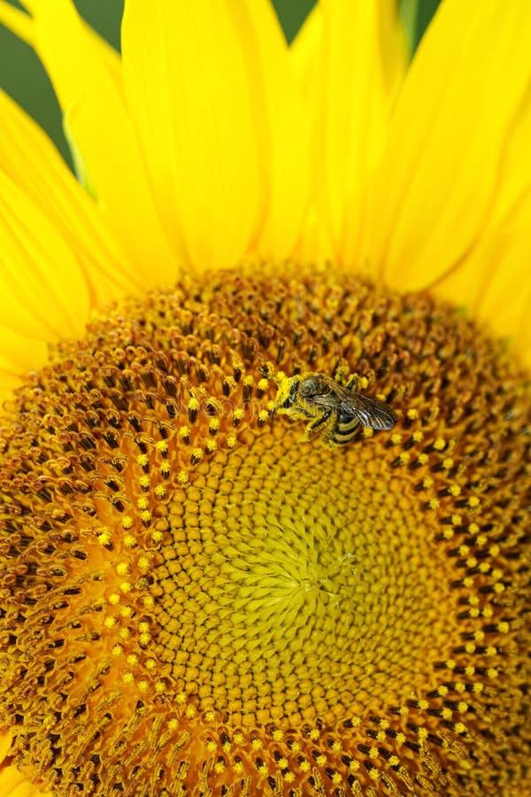 Sonnenblumekopf, der durch eine Honigbiene bestäubt wird lizenzfreie stockfotos