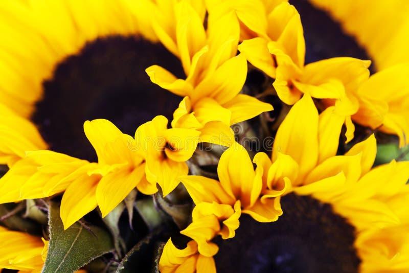 Sonnenblumen stockfotografie