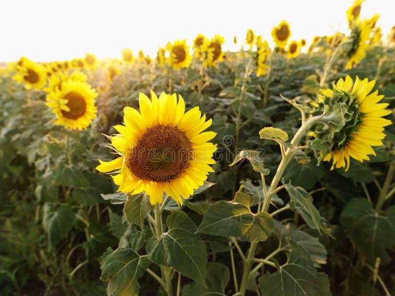 Sonnenblumen. stockfoto