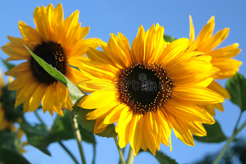 Sonnenblumen. lizenzfreies stockfoto