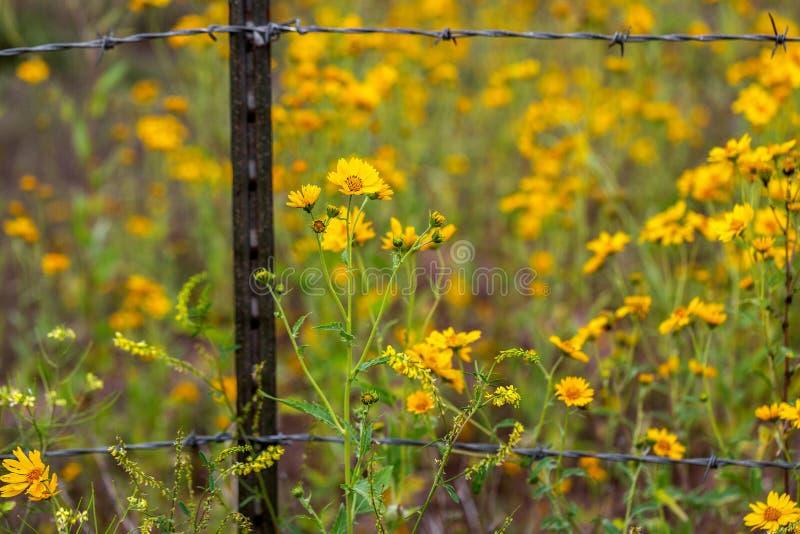 Sonnenblumen auf beiden Seiten von Barb Wire Fence lizenzfreies stockfoto