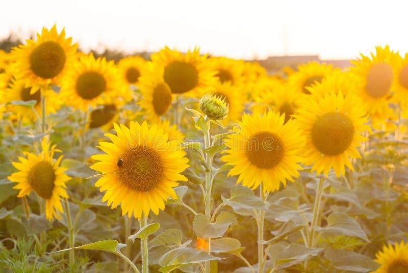 Sonnenblumen auf dem Feld lizenzfreie stockfotografie