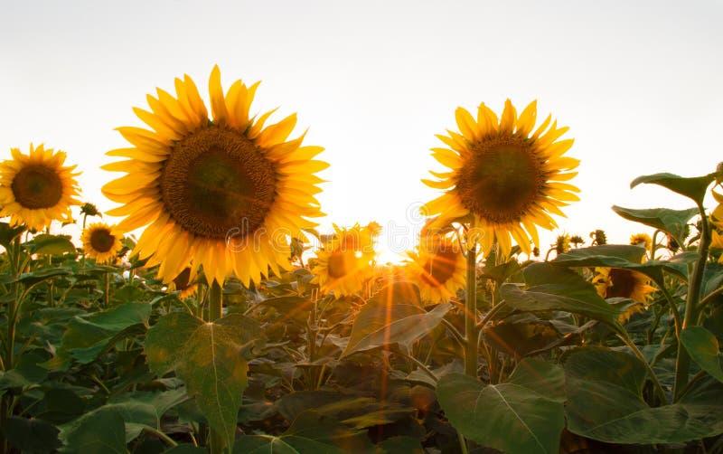 Sonnenblumen auf dem Gebiet während des Sonnenuntergangs lizenzfreie stockbilder