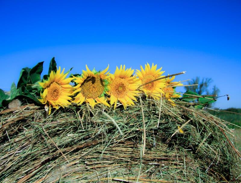 Sonnenblumen auf einem Heu stockfoto