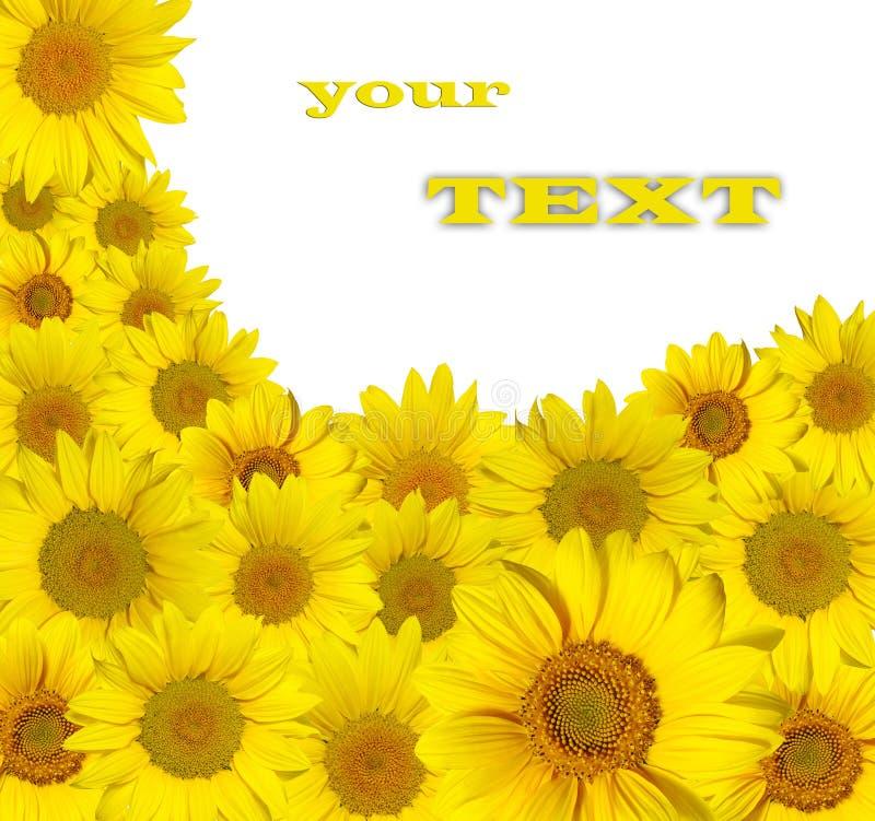 Sonnenblumen auf Weiß stockbilder