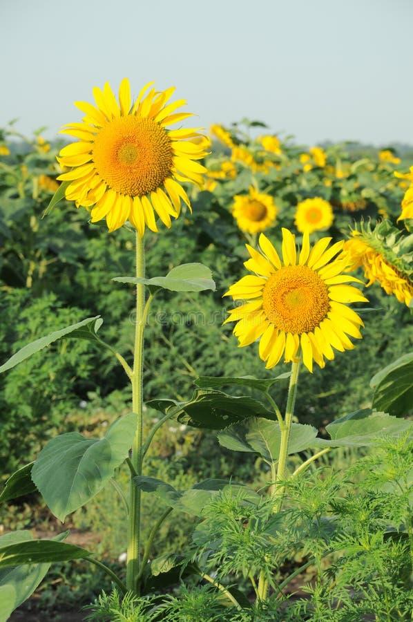 Sonnenblumen bei Sonnenaufgang stockbild