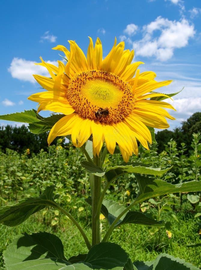 Sonnenblumen-Blüten-Helianthus Annuus stockbilder