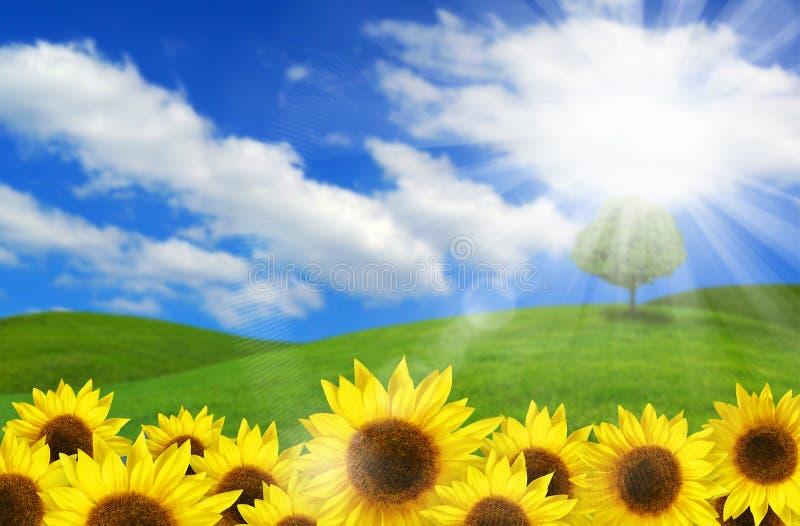 Sonnenblumen in der Landschaft stockbilder