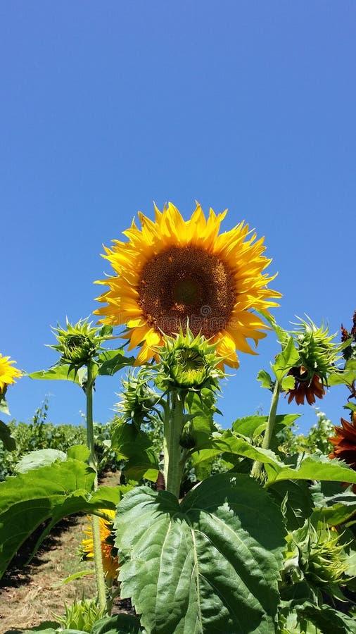Sonnenblumen in der Sommerzeit lizenzfreies stockbild