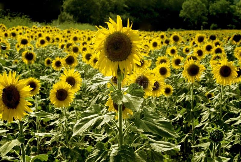 Sonnenblumen, die auf dem Gebiet Frankreich wachsen stockbild