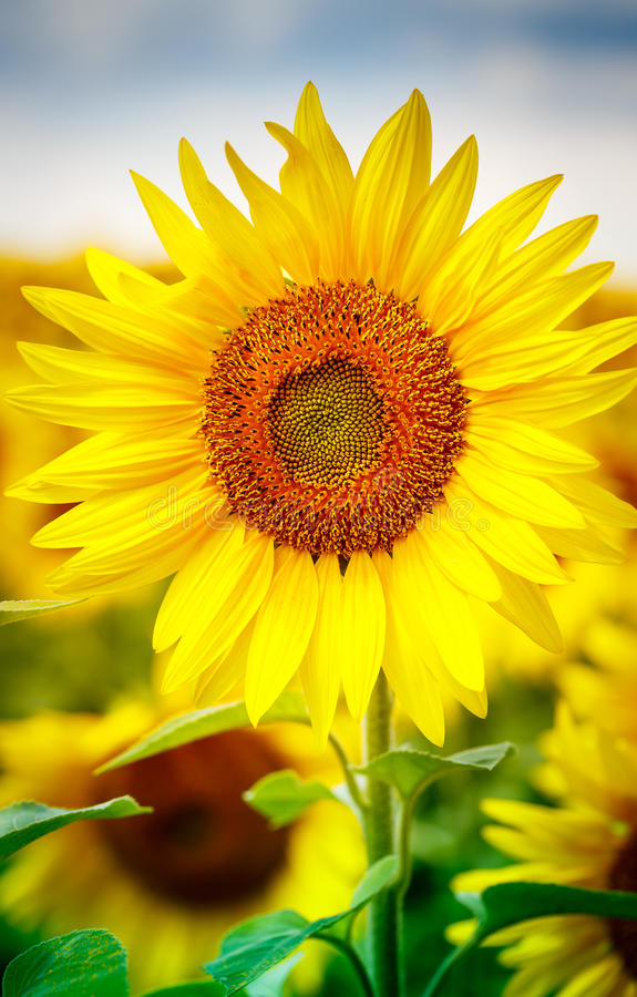 Sonnenblumen, die im Bauernhof mit blauem Himmel blühen stockbilder