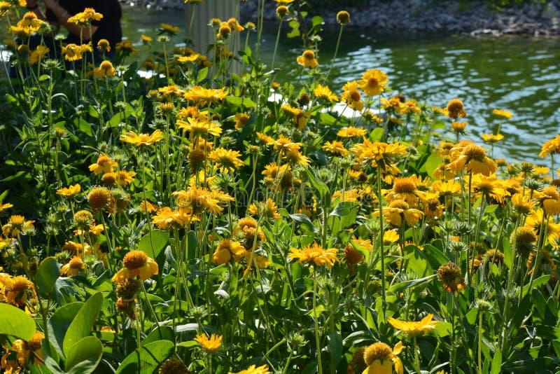 Sonnenblumen in einem Flecken durch einen Strom lizenzfreie stockfotografie