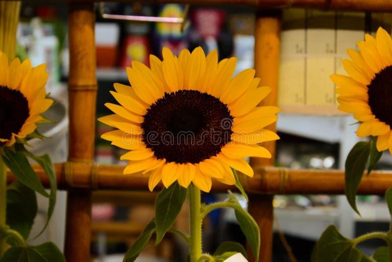 Sonnenblumen für Verkauf stockfotos