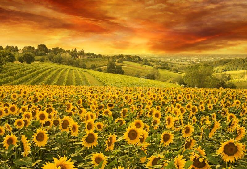 Sonnenblumen fangen im italienischen Hügel auf stockfotografie
