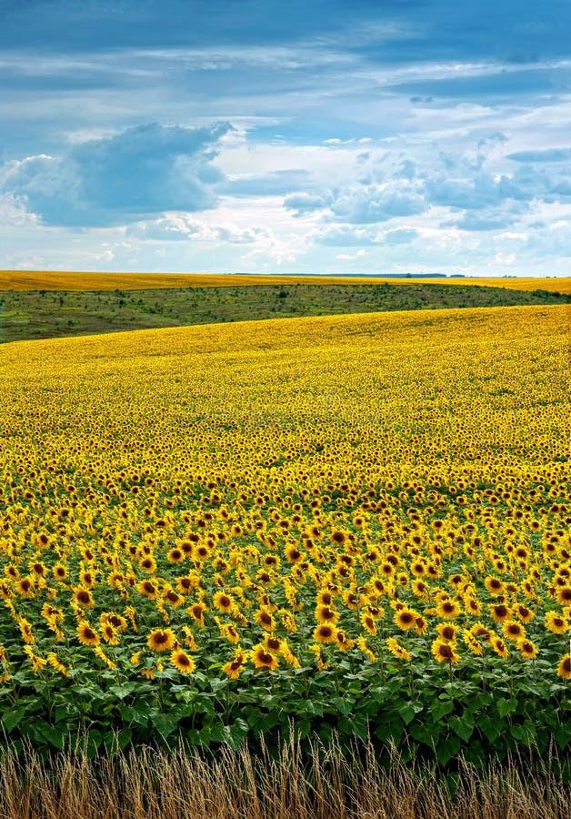 Sonnenblumen fangen mit Wolken auf lizenzfreie stockfotos