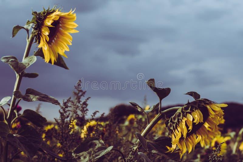 Sonnenblumen-Flecken im August stockbilder