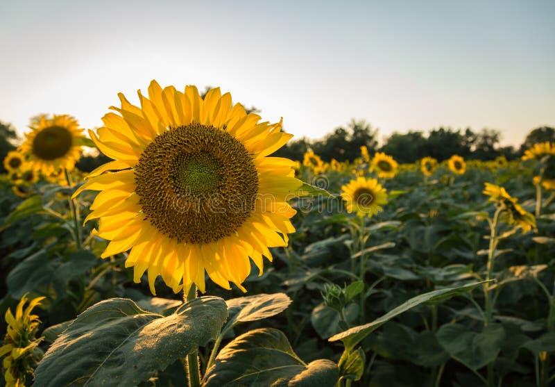 Sonnenblumen am frühen Abend als Sonnensätzen lizenzfreies stockbild